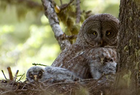 Great Gray Nest ©Cameron