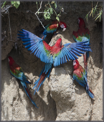 Macaws 2390