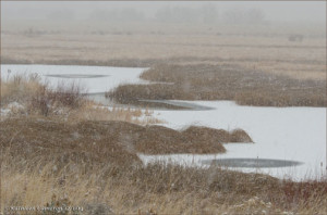 Reeds and Cattails in the Snow