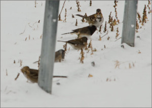Harris's Sparrow with Juncos 1