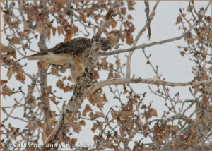 Red-tailed Hawk in a Tree